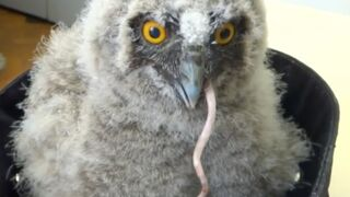 This mouse-eating owl is a bottomless pit