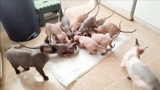 Sphynx...The Most Gluttonous Cats